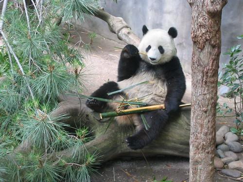 Waving Panda