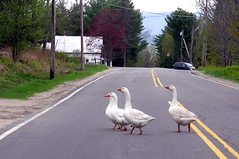 Geese Crossing - Maine (adamantine) Tags: road bird birds rural geese highway crossing maine goose gans waterford oca ganso oie oche gnse oies honking gansos