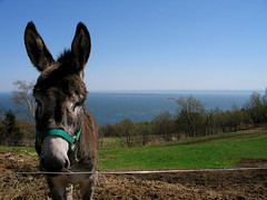 Cool Donkey (2 of 3) (Julien Robitaille Photographie) Tags: animal animals soap farm donkey ferme charlevoix abo ane stlawrenceriver savon savonnerie icecanoeracing ©julienrobitaille ilseauxcoudres