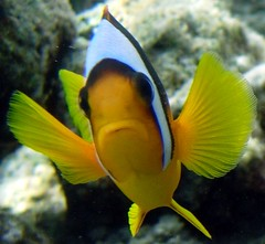 Pesce pagliaccio (Amphiprion bicinctus) (Key of Life) Tags: life africa red sea fish macro uw nature water coral digital mar photo nikon marine paradise mare underwater nemo little photos clown sub redsea dive egypt deep scuba diving el snorkeling explore clownfish anemone views coolpix 5200 aquatic biology rosso sheikh depth egitto anemonefish sharm pesce immersioni pagliaccio corallo 7000 naturalmente naturesfinest fotosub subacquea wetpixel keyoflife uderwater e5200 amphiprionbicinctus pescepagliaccio underwaterpics fondali colorphotoaward twobandanemonefish fotosubacquee naturewatcher coolestphotographers uderwaterphotos nginationalgeographicbyitalianpeople