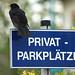 Naughty Blackbird