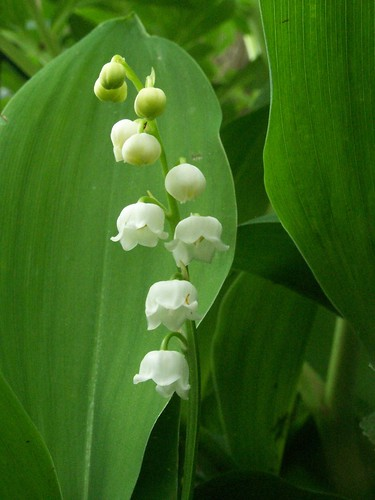 Precious little bells of lily of the valley