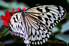 Paper Kite (Creativity+ Timothy K Hamilton) Tags: red white black butterfly insect creativity wings 500v20f wing stlouis insects lepidoptera papillon saintlouis stl mariposa farfalla schmetterling  butterflyhouse  devlinder paperkite tkh 1000v40f timothykhamilton creativityplus