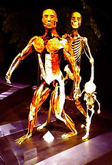 muscle and skeleton stand apart, with child - by misterbisson
