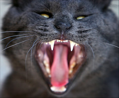 Vampire Kitty (Domain Barnyard) Tags: cat wow feline bokeh vampire teeth yawn may kitty 2006 canoneos20d whiskers tingey domainbarnyard 123cats