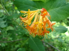 Lonicera ciliosa bloom