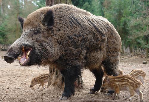 Wild boar piglet : pics