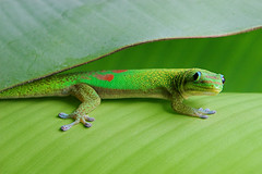 Awareness (konaboy) Tags: green garden leaf bananeira bravo searchthebest banana gecko contact folha 22706 specnature
