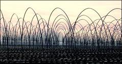 Sea of Canes (St Stev) Tags: uk nature field st cane strawberry arch farm steve farming leeds arc strawberries stephen pole plastic garforth canes fields scaffold poles furrow stev lythe lyth ststev slyth landandsky stephenlyth stevelyth stevlyth stephenmatthewlyth smlyth stev1980