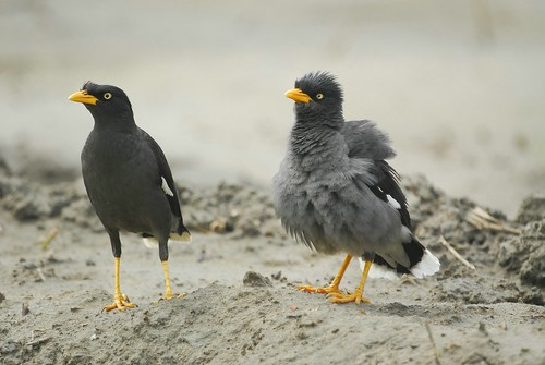 ??????? A pair of White-vented Myna