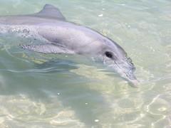 Australia.2004-10-25.0039 (DigitalTribes) Tags: 2004 au australia worldheritagesite dolphins westernaustralia dt monkeymia sharkbay digitaltribes markoneil