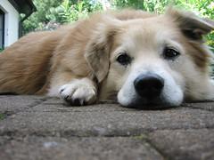 Sammy (Apfelherz) Tags: dog hund treu brav tierisch