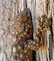 Fan-Fingerd Gecko (Ptyodactylus guttatus) מניפנית