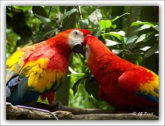 Give Me A Kiss /  (JZ Pixel) Tags: usa bird nature orlando unitedstates florida disney disneyworld macaw  animalkingdom scarletmacaw