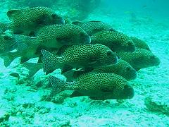 Sweet Lips (Borneo-Aquanerds) Tags: reef roach sabah