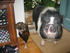 tina turner and portia the pig; good morning, FEED US! (peter_r) Tags: chicken pig potbelly tinaturner abigfave