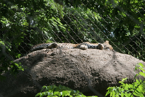 african cats wallpaper. African Leopard Sleeping