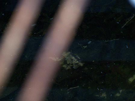 Frog+scream