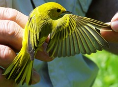The Backside of a Yellow Warbler (makeupanid) Tags: bird birds yellow bravo warbler birdbanding yellowwarbler featheryfriday theworldthroughmyeyes 123faves torontobirdingobservatory thicksonwoods avianexcellence qemdadminfave
