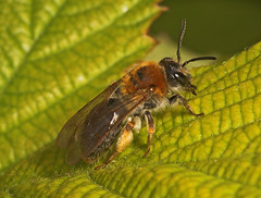"""Mining bee (Andrena haemorrhoa) Female • <a style=""""font-size:0.8em;"""" href=""""http://www.flickr.com/photos/57024565@N00/164195330/"""" target=""""_blank"""">View on Flickr</a>"""