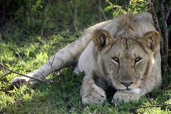 It Seems Like He's Looking Right At You! (TangoPango) Tags: africa animal kenya wildlife lion predator masaimara