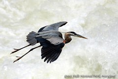 Great Blue Heron @ Great Falls National Park, Maryland (Nikographer [Jon]) Tags: blue usa bird heron nature water birds animal animals river flying lenstagged nationalpark wings nikon whitewater unitedstates great greatfalls flight maryland ardea foam potomac d200 nikkor potomacriver greatblueheron herodias ardeaherodias gbh 80400mmf4556dvr greatfallsnationalpark wildlifenorthamerica nikond200 nikographer specanimal gfnp nikographerjon jss20081