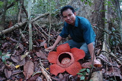 Rafflesia keithii, what a beauty (Bornean) Tags: flower nature flora rainforest borneo tropics rafflesia