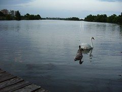 goodnight (insolvable_self) Tags: fuzzy swans townlake cygnets
