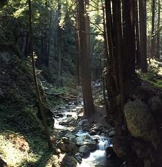 Lime Kiln State Park, California, 2005 (artandscience) Tags: film rolleiflex forest redwood limekiln