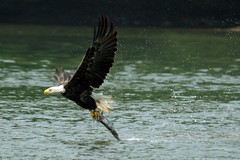 Bald Eagle with his Prey! (Nikographer [Jon]) Tags: usa fish bird nature topf25 birds animal animals topv111 geotagged lenstagged inflight nationalpark topv555 topv333 nikon unitedstates eagle greatfalls baldeagle bald maryland american raptor potomac topv777 prey d200 nikkor success potomacriver haliaeetusleucocephalus birdofprey americanbaldeagle haliaeetus leucocephalus 80400mmf4556dvr greatfallsnationalpark wildlifenorthamerica nikond200 nikographer specanimal animalkingdomelite abigfave gfnp nikographerjon jss20081
