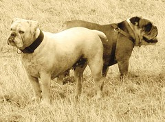 Giulia e Soros (ithil) Tags: dog love animal cane couple bulldog giulia soros seppia