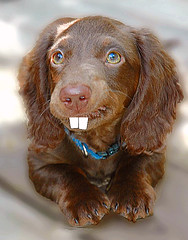 If rabbits and dachshunds mated....... (Doxieone) Tags: dog brown goofy puppy fdsflickrtoys funny long teddy chocolate dachshund haired mostpopular ggg my25 longhaired ourdogs 5092 118714923 1274141030 teddyset easterset ddate