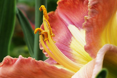 Attraction (*ian*) Tags: flower tag3 taggedout garden tag2 tag1 lily daylily favourite lovephotography bigemrg