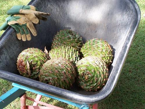 Bunya Pine Cones