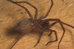 """Common House Spider (Tegenaria gigant(2) • <a style=""""font-size:0.8em;"""" href=""""http://www.flickr.com/photos/57024565@N00/173927824/"""" target=""""_blank"""">View on Flickr</a>"""