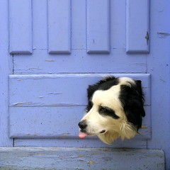 Dog and blue door (DIDS') Tags: blue 2 favorite dog pet france tongue square funny 123 ago hours topf100 added 500x500 dogbox dids p1f1 flickrchallengegroup flickrchallengewinner lmaoanimalphotoaward top20blue pet1000 pet2000 pet1500 winner500 masterpiecesoflightdark