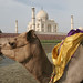 Camel Sitting in Yamuna, Agra