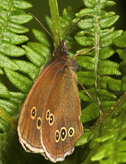 """Ringlet Butterfly (aphantopus hyperan(3) • <a style=""""font-size:0.8em;"""" href=""""http://www.flickr.com/photos/57024565@N00/178535955/"""" target=""""_blank"""">View on Flickr</a>"""