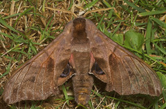 "Eyed Hawkmoth (smerinthus ocellata) • <a style=""font-size:0.8em;"" href=""http://www.flickr.com/photos/57024565@N00/179071229/"" target=""_blank"">View on Flickr</a>"