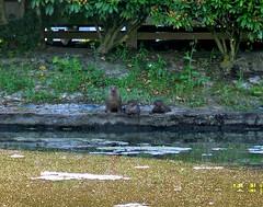 The Newest Family At The Pond!! (shesnuckinfuts) Tags: otters animalplanet backyardpond kentwa saywa experiencewa animaladdiction otterfamily shesnuckinfuts