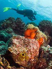 reefwdvr1190pcw (gerb) Tags: topv111 coral indonesia cool topv555 topv333 underwater scuba loveit anemone diver d200 reef anemonefish bunaken 105mmf28gfisheye tvx