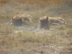 Two Lions Lieing Around (jsgiuseppe) Tags: lions lionpark