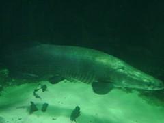 Some big ol' fish (mag3737) Tags: fish green water vancouver aquarium underwater vancouveraquarium arapaima pirarucu july2006 robertashannongrantvisit paiche
