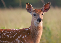 The Fawn 5 (MNesterpics) Tags: nature topf25 animal animals virginia interestingness interesting topv555 wildlife topv1111 topc50 topc75 topv999 scout 2006 100v10f deer explore topc100 fawn va topv777 shenandoah animalplanet thebest whitetail whitetailed bigmeadows skylinedrive kiss2 odocoileusvirginianus shenandoahnationalpark topc150 naturesfinest snp wildlifenorthamerica parkstock kiss3 calendarshot kiss1 animaladdiction kiss5 specanimal easternnorthamericanature 250v10f top10nature cotcmostfavorites animalkingdomelite mywinners abigfave goldmedalwinner aplusphoto 12from2006 onlythebestare animaladdictioninvite goldstaraward