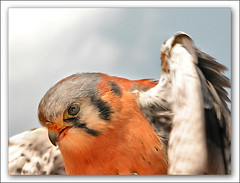 Kestrel Attack (LeFon) Tags: canada bird nature animal nikon quality wildlife qubec oiseau kestrel specanimal lefion 250v10f crcerelle