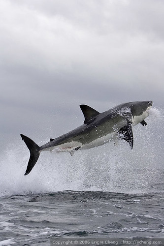 Great White Shark Breach at False Bay