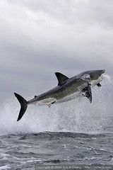 Great White Shark Breach at False Bay (echeng) Tags: fish southafrica shark seal greatwhiteshark simonstown falsebay breach sealrock naturesfinest capefurseal p1f1