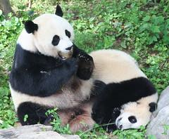 Mei: I got to hide this fruitsicle from Tai quickly (somesai) Tags: funny panda yum tian tai sit nationalzoo endangered mx pandas meixiang taishan dczoo butterstick pandaunlimited fruitcicle