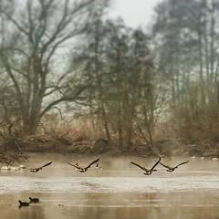 Die Wildgänse kommen (mkniebes) Tags: autumn fog riverside bif haze nature birds goose landscape river square instagram