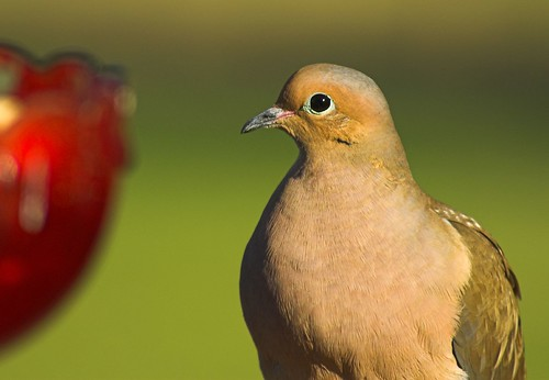 His Eye on the Prize --Mourning Dove
